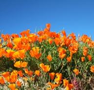 SpringTours_Poppies2